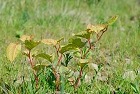 A closeup of three baby Japanese Knotweed plants sprout out of the dried up gravel riverbed. The plants have red stalks and stems, yellowish green leaves with tinges of rusty red colours. Pictured with a  grassey background. www.jakphoto.co.uk, John Kelly Photography (UK)